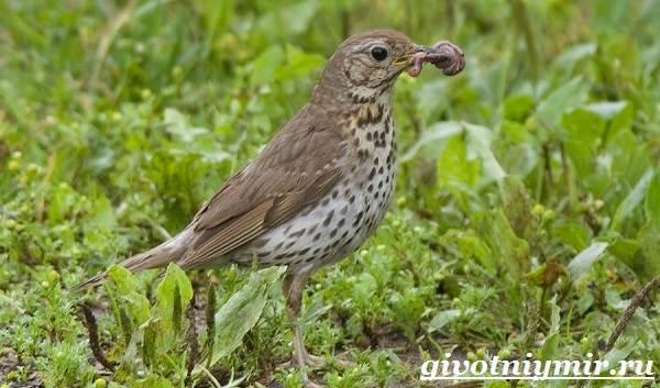drozd-ptica-obraz-zhizni-i-sreda-obitaniya-drozda-6.jpg