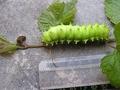 120px-Saturnia_pyri_larva.JPG