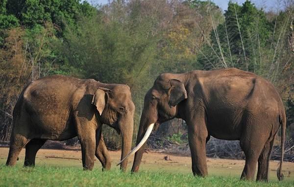 vidy-slonov-opisanie-nazvaniya-i-foto-vidov-slonov-8.jpg