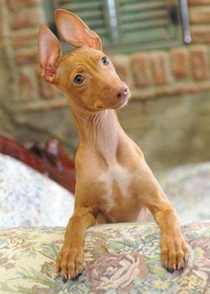 щенок-чирнеко-дель-этна-min.jpg