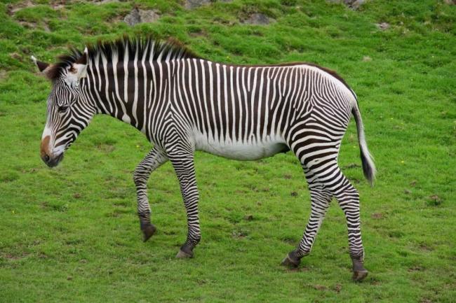 zebra-grevi-zebra-shozhaja-s-oslom-animal-reader.-ru--1024x683.jpg