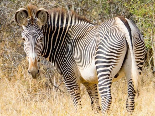 zebra-grevi-zebra-shozhaja-s-oslom-animal-reader.-ru-003-1024x768.jpg