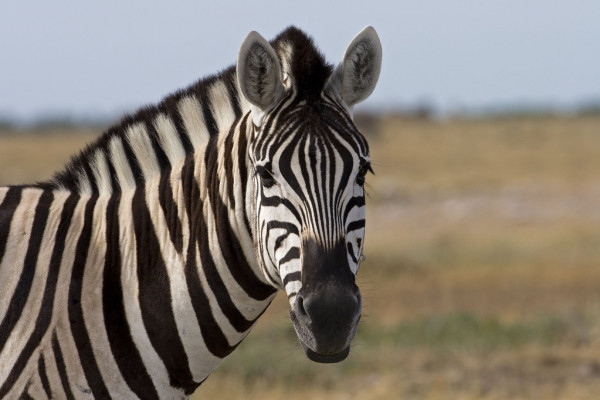 depositphotos_10060656-stock-photo-portrait-of-burchells-zebra.jpg
