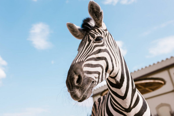depositphotos_197625924-stock-photo-low-angle-view-zebra-muzzle.jpg