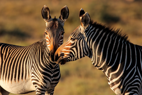 depositphotos_1653425-stock-photo-cape-mountain-zebras.jpg