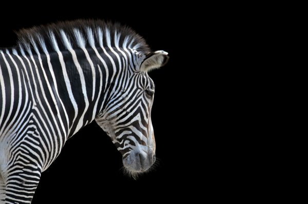 depositphotos_14126271-stock-photo-portrait-of-zebra.jpg