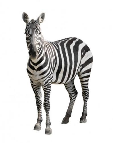 depositphotos_26743943-stock-photo-zebra-isolated-on-white.jpg