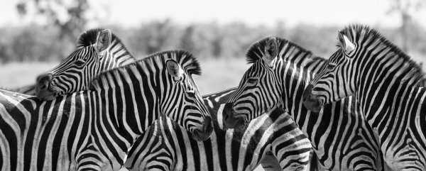 depositphotos_68972051-stock-photo-zebra-herd-in-black-and.jpg