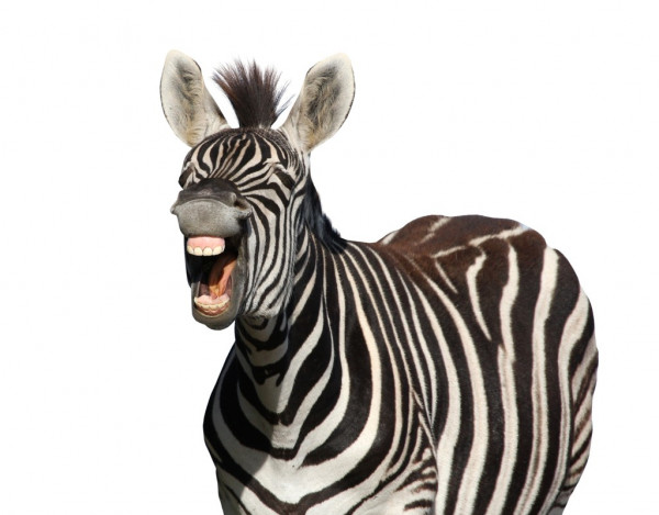 depositphotos_9173465-stock-photo-zebra-laugh-or-shout.jpg