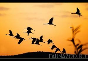 Ночные-перелеты-птиц-300x209.jpg