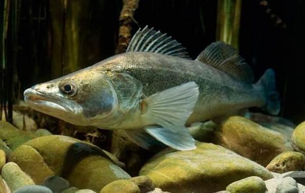 sudak-ryba-opisanie-osobennosti-vidy-obraz-zhizni-i-sreda-obitaniya-sudaka.jpg