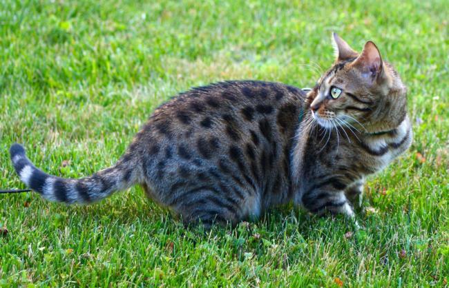 бенгальская-кошка-на-улице.jpg