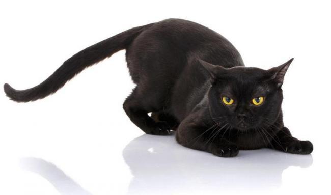 бомбейская-кошка.jpg