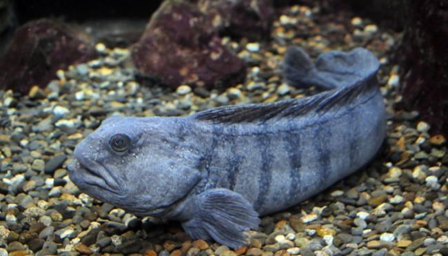 Польза и вред рыбы зубатки, фото, где водится и как выглядит