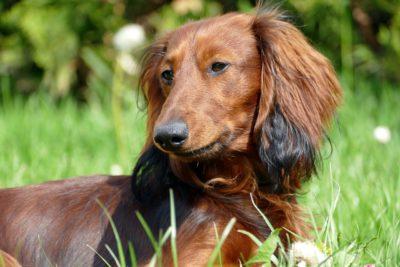 dachshund-2301777_1280-e1577183537505.jpg
