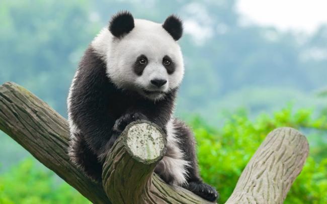 17_bolshaya-panda-1024x640.jpg