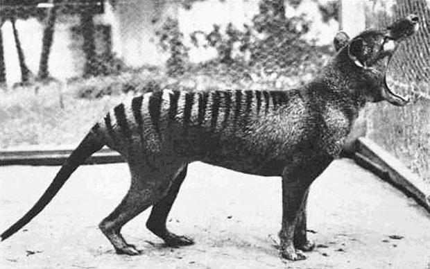 thylacine_620.jpg