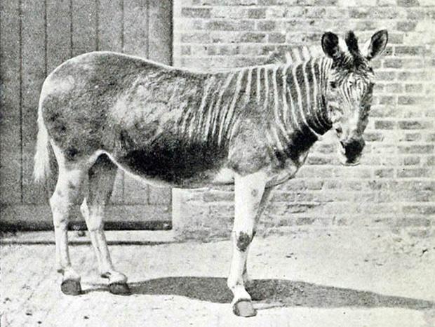 quagga-london-zoo_620.jpg