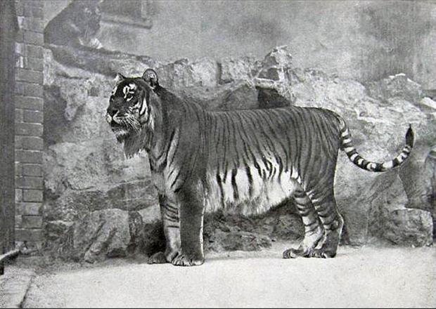 caspian-tiger_620.jpg