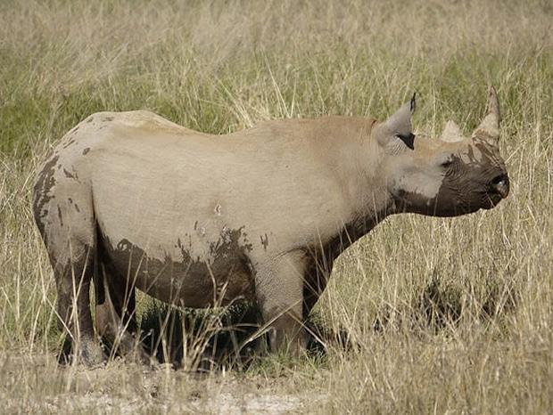 black-rhino_620.jpg