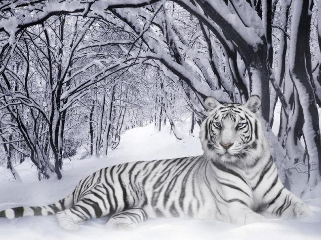 Belyj-tigr-zimoj-600x300.jpg