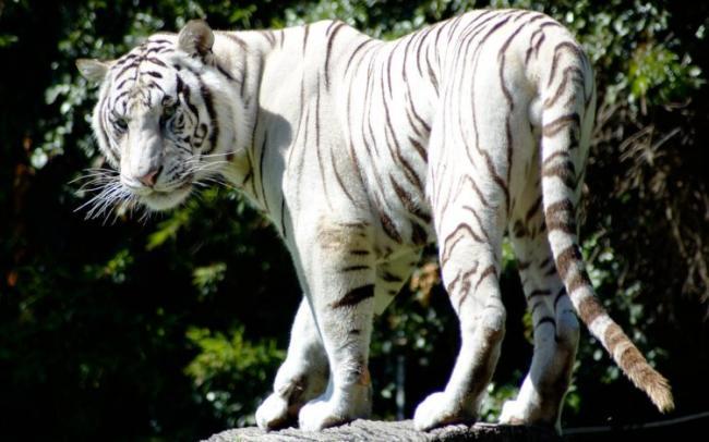 Animals___Wild_cats_Rare_white_tiger_076183_-e1525962607102.jpg