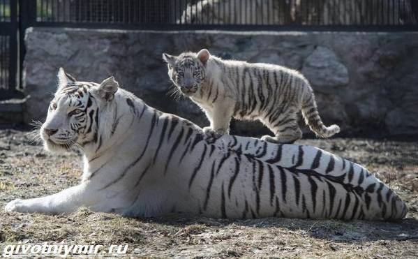 belyj-tigr-obraz-zhizni-i-sreda-obitaniya-belogo-tigra-5.jpeg