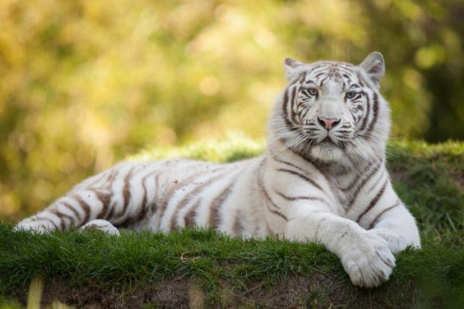Tigers_White_477089-e1525962978624.jpg