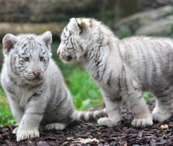 Animals___Wild_cats_Kittens_white_tiger_094865_-1280x1080-e1525963001700.jpg