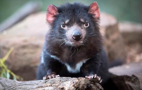 tasmanskij-dyavol-opisanie-osobennosti-vidy-obraz-zhizni-i-sreda-obitaniya-tasmanskogo-dyavola-7.jpg