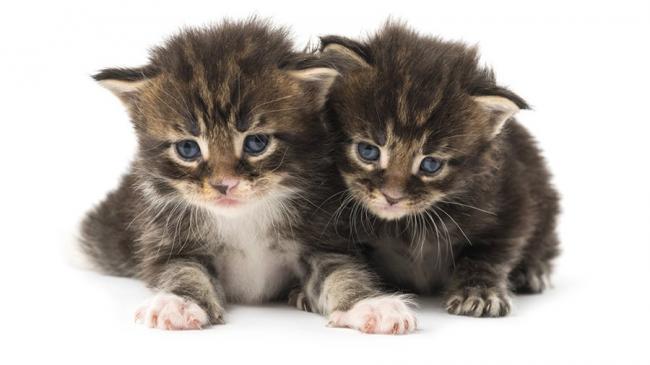 1518274808_kittens-maine-coon.jpg