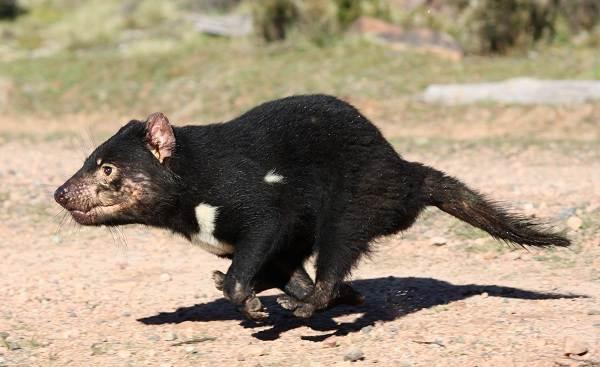 tasmanskij-dyavol-opisanie-osobennosti-vidy-obraz-zhizni-i-sreda-obitaniya-tasmanskogo-dyavola-3.jpg
