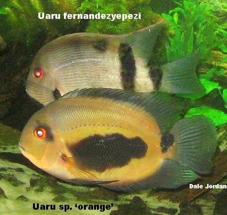 uaru.orange1.jpg