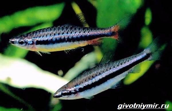 nannostomus-rybka-opisanie-osobennosti-vidy-i-uxod-za-nannostomusom-8.jpg
