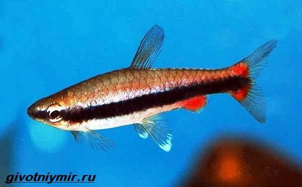 nannostomus-rybka-opisanie-osobennosti-vidy-i-uxod-za-nannostomusom-1.jpg