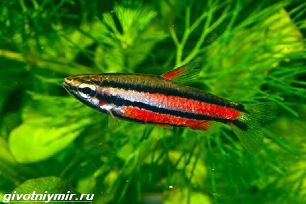 nannostomus-rybka-opisanie-osobennosti-vidy-i-uxod-za-nannostomusom-6.jpg