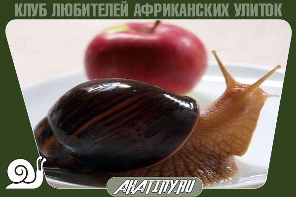 Achatina-immaculata-2.png