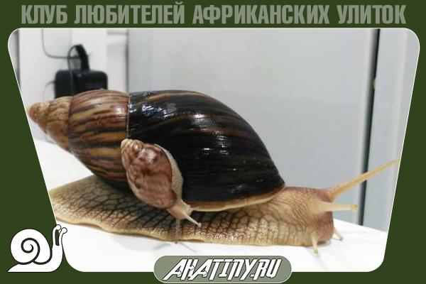 Achatina-immaculata-pantera.png