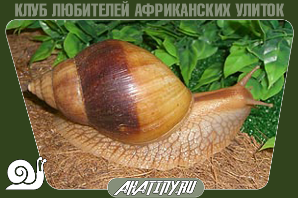 Achatina-immaculata-two-tone.png