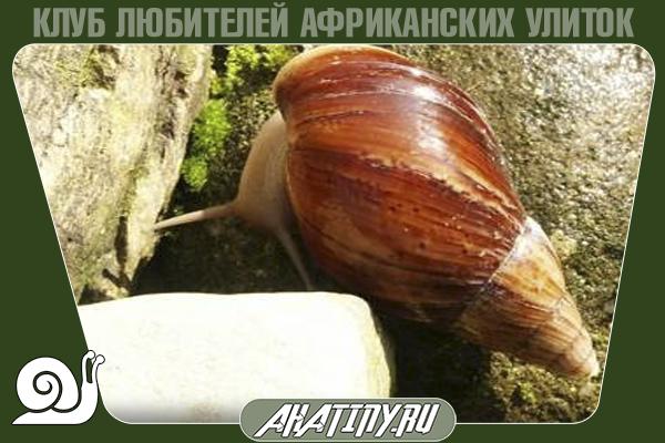 Achatina-immaculata-lamarckiana.png