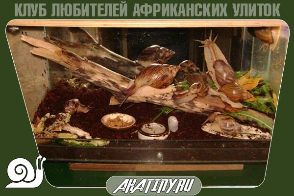 Achatina-immaculata-v-terrariume-6.png