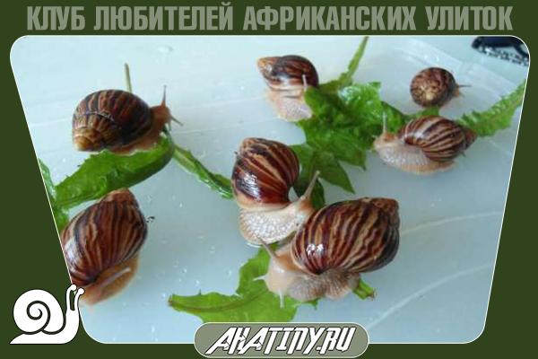 Yunii-Achatina-immaculata-8.png