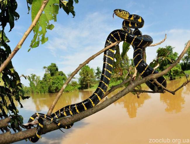 mangrovaya-zmeya-nad-vodoy.jpg