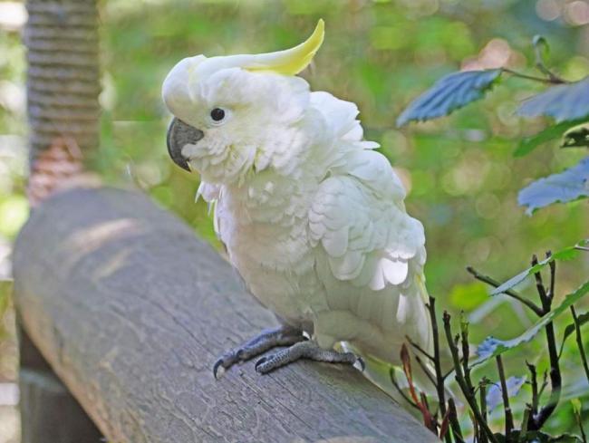 belyj-kakadu-alba-v-prirode-i-domashnih-uslovijah-animal-reader.-ru-003-1024x771.jpg