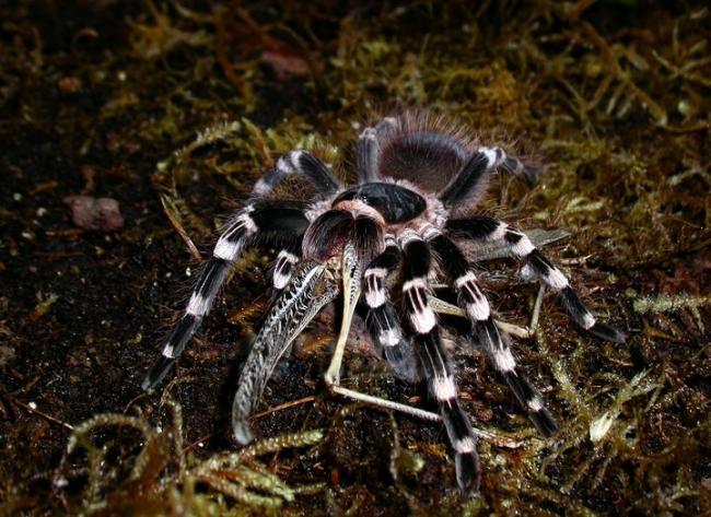 soderzhanie-belokolennogo-pauka-ptitseeda.jpg