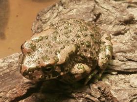 pseudepidalea-viridis_small_01.jpg