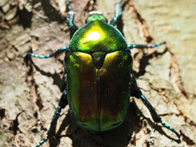 protaetia-aeruginosa_small_01.jpg