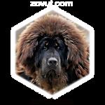 tibetskiy-mastif-150x150.png