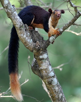 275px-Malabar_Giant_Squirrel.jpg