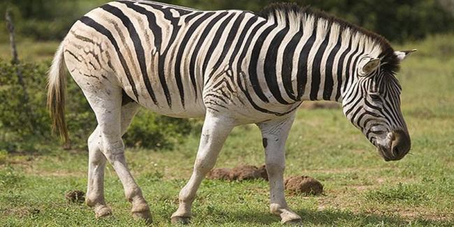 Zebry-ravniny-Berchella.jpg